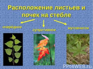 очерёдное супротивное мутовчатое Расположение листьев и почек на стебле