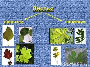 Листья простые сложные