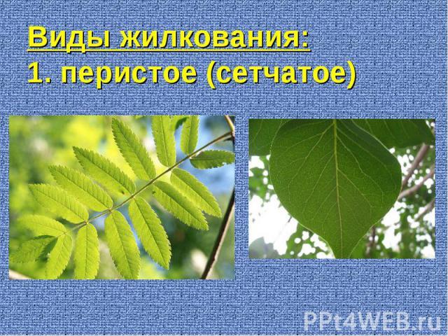 Виды жилкования: 1. перистое (сетчатое)