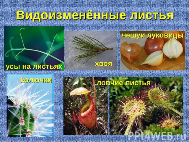 усы на листьях колючки чешуи луковицы хвоя ловчие листья Видоизменённые листья