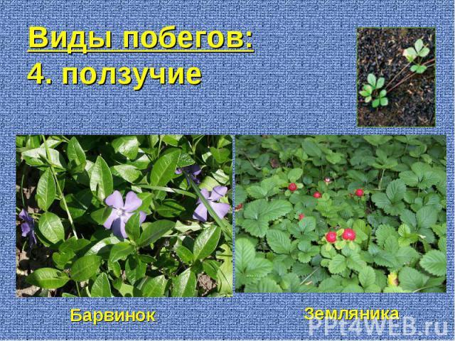 Барвинок Земляника Виды побегов: 4. ползучие