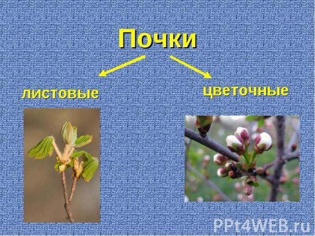 листовые цветочные Почки