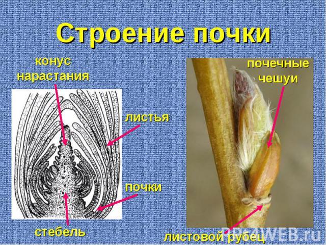 листовой рубец почечные чешуи стебель конус нарастания листья почки Строение почки