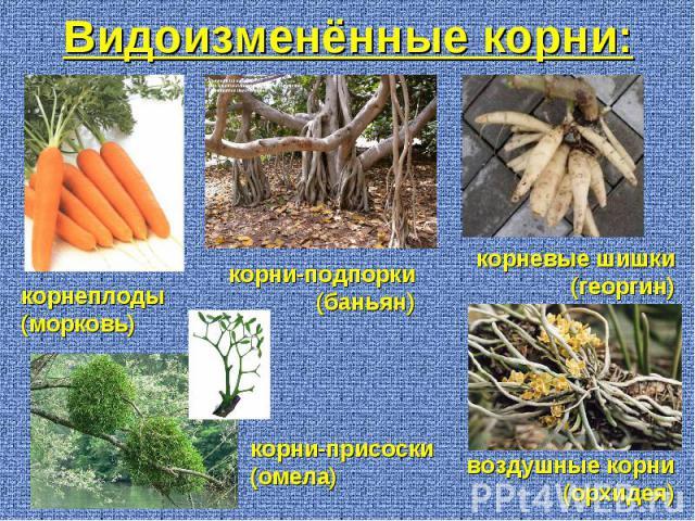 корнеплоды (морковь) корни-подпорки (баньян) корневые шишки (георгин) воздушные корни (орхидея) корни-присоски (омела) Видоизменённые корни: