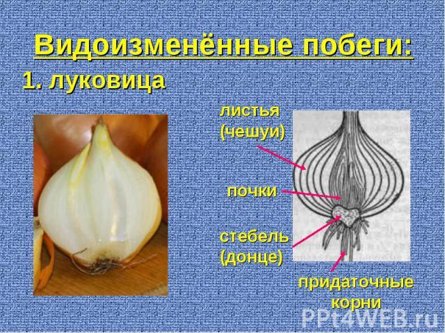 1. луковица придаточные корни стебель (донце) листья (чешуи) почки Видоизменённые побеги: