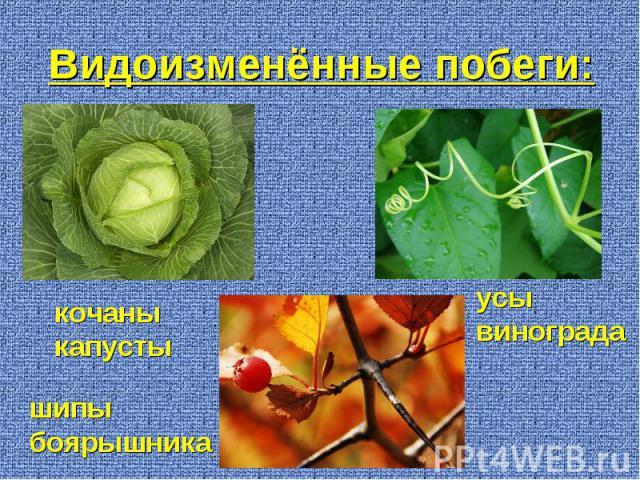 кочаны капусты усы винограда шипы боярышника Видоизменённые побеги: