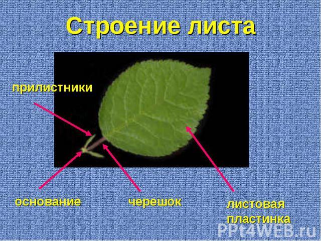 листовая пластинка черешок основание прилистники Строение листа