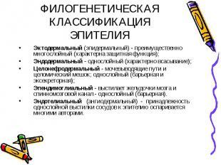 ФИЛОГЕНЕТИЧЕСКАЯ КЛАССИФИКАЦИЯ ЭПИТЕЛИЯ Эктодермальный (эпидермальный) - преимущ