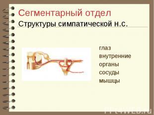 Сегментарный отдел Структуры симпатической н.с. глаз внутренние органы сосуды мы