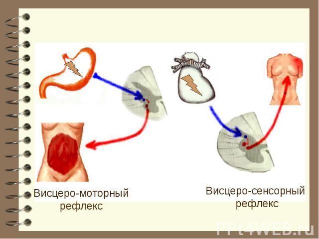 Висцеро-моторный рефлекс Висцеро-сенсорный рефлекс