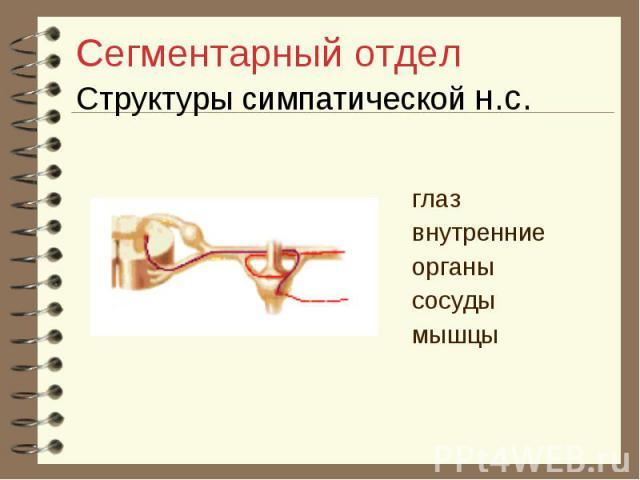 Сегментарный отдел Структуры симпатической н.с. глаз внутренние органы сосуды мышцы