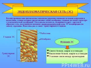 ЭНДОПЛАЗМАТИЧЕСКАЯ СЕТЬ (ЭС) Рибосомы Мембрана Гладкая ЭС Гранулярная ЭС Функции