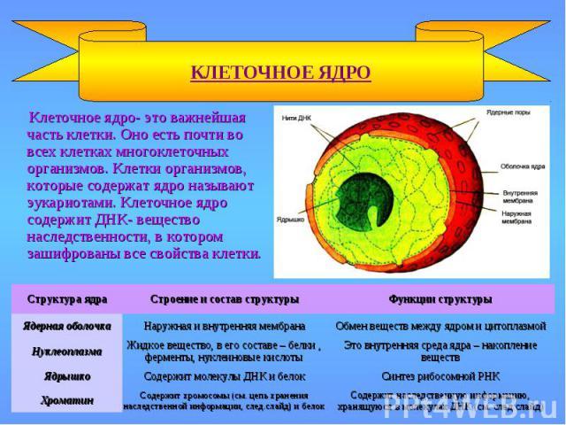 КЛЕТОЧНОЕ ЯДРО Содержит наследственную информацию, хранящуюся в молекулах ДНК (см. след.слайд) Содержит хромосомы (см. цепь хранения наследственной информации, след.слайд) и белок Хроматин Синтез рибосомной РНК Содержит молекулы ДНК и белок Ядрышко …