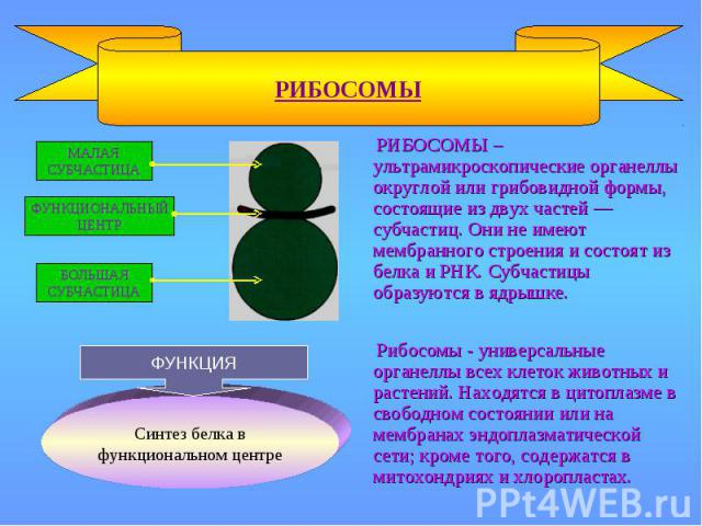 РИБОСОМЫ Рибосомы - универсальные органеллы всех клеток животных и растений. Находятся в цитоплазме в свободном состоянии или на мембранах эндоплазматической сети; кроме того, содержатся в митохондриях и хлоропластах. МАЛАЯ СУБЧАСТИЦА БОЛЬШАЯ СУБЧАС…