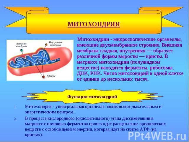 МИТОХОНДРИИ Митохондрия - универсальная органелла, являющаяся дыхательным и энергетическим центром. В процессе кислородного (окислительного) этапа диссимиляции в матриксе с помощью ферментов происходит расщепление органических веществ с освобождение…