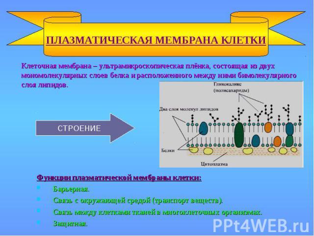 ПЛАЗМАТИЧЕСКАЯ МЕМБРАНА КЛЕТКИ Функции плазматической мембраны клетки: Барьерная. Связь с окружающей средой (транспорт веществ). Связь между клетками тканей в многоклеточных организмах. Защитная. СТРОЕНИЕ Клеточная мембрана – ультрамикроскопическая …