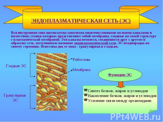 ЭНДОПЛАЗМАТИЧЕСКАЯ СЕТЬ (ЭС) Рибосомы Мембрана Гладкая ЭС Гранулярная ЭС Функции ЭС Синтез белков, жиров и углеводов Накопление белков, жиров и углеводов Усиление связи между органоидами Вся внутренняя зона цитоплазмы заполнена многочисленными мелки…