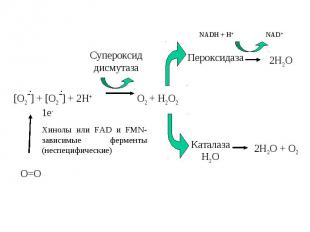 [O2-] + [O2-] + 2H+ O2 + H2O2 Cупероксид дисмутаза Пероксидаза Каталаза Н2О NADH