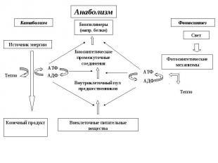 Катаболизм Источник энергии Анаболизм Фотосинтез Биополимеры (напр. белки) Свет