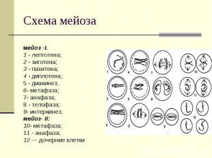 Схема мейоза мейоз -I. 1 - лептотена; 2 - зиготена; 3 - пахитена; 4 - диплотена;