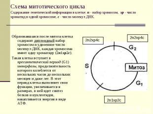 2n1xp2c 2n2xp4c 2n2xp4c Схема митотического цикла Содержание генетической информ