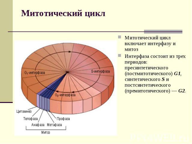 Митотический цикл Митотический цикл включает интерфазу и митоз Интерфаза состоит из трех периодов: пресинтетического (постмитотического) G1, синтетического S и постсинтетического (премитотического) — G2.