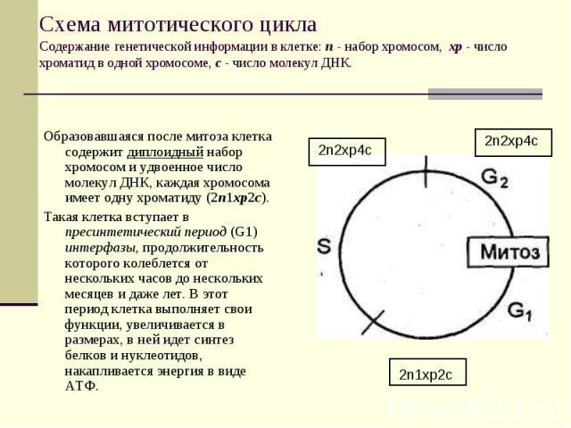 2n1xp2c 2n2xp4c 2n2xp4c Схема митотического цикла Содержание генетической информации в клетке: п - набор хромосом, хр - число хроматид в одной хромосоме, с - число молекул ДНК. Образовавшаяся после митоза клетка содержит диплоидный набор хромосом и …