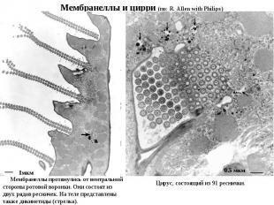 Мембранеллы протянулись от вентральной стороны ротовой воронки. Они состоят из д