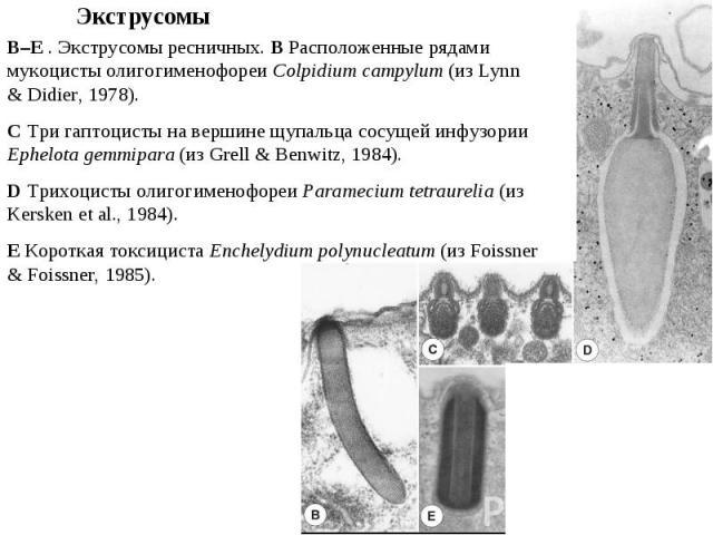 B–E . Экструсомы ресничных. B Расположенные рядами мукоцисты олигогименофореи Colpidium campylum (из Lynn & Didier, 1978). C Три гаптоцисты на вершине щупальца сосущей инфузории Ephelota gemmipara (из Grell & Benwitz, 1984). D Трихоцисты олигогимено…