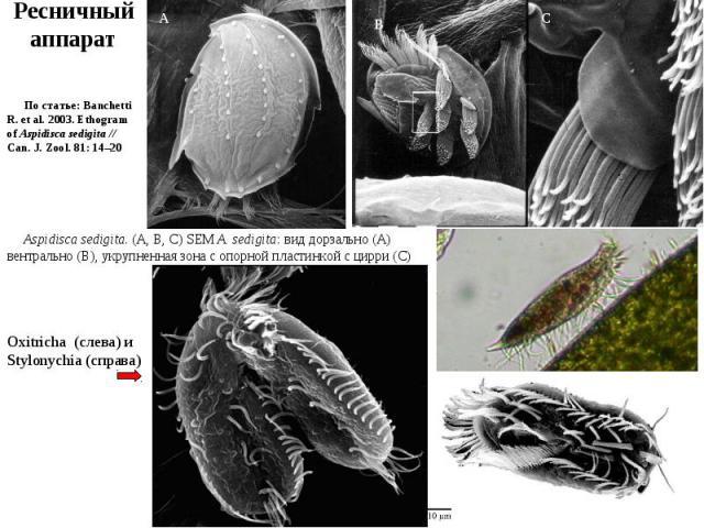 Aspidisca sedigita. (A, B, C) SEM A. sedigita: вид дорзально (A) вентрально (B), укрупненная зона с опорной пластинкой с цирри (C) По статье: Banchetti R. et al. 2003. Ethogram of Aspidisca sedigita // Can. J. Zool. 81: 14–20 Oxitricha (слева) и Sty…