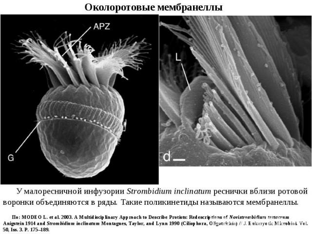 У малоресничной инфузории Strombidium inclinatum реснички вблизи ротовой воронки объединяются в ряды. Такие поликинетиды называются мембранеллы. По: MODEO L. et al. 2003. A Multidisciplinary Approach to Describe Protists: Redescriptions of Novistrom…