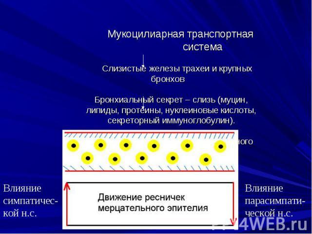 Влияние парасимпати-ческой н.с. Влияние симпатичес-кой н.с. Мукоцилиарная транспортная система Слизистые железы трахеи и крупных бронхов Бронхиальный секрет – слизь (муцин, липиды, протеины, нуклеиновые кислоты, секреторный иммуноглобулин). Мерцател…