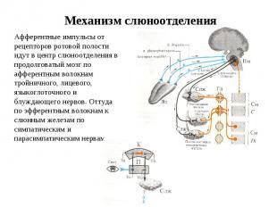 Механизм слюноотделения Афферентные импульсы от рецепторов ротовой полости идут