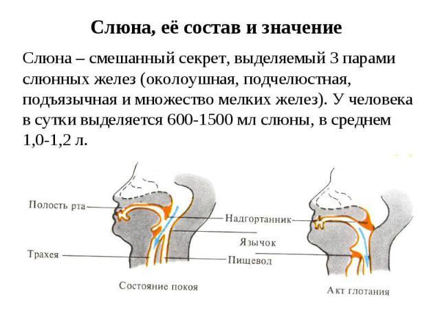 Слюна, её состав и значение Слюна – смешанный секрет, выделяемый 3 парами слюнных желез (околоушная, подчелюстная, подъязычная и множество мелких желез). У человека в сутки выделяется 600-1500 мл слюны, в среднем 1,0-1,2 л.