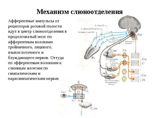 Механизм слюноотделения Афферентные импульсы от рецепторов ротовой полости идут в центр слюноотделения в продолговатый мозг по афферентным волокнам тройничного, лицевого, языкоглоточного и блуждающего нервов. Оттуда по эфферентным волокнам к слюнным…