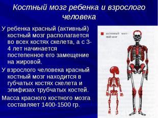 Костный мозг ребенка и взрослого человека У ребенка красный (активный) костный м