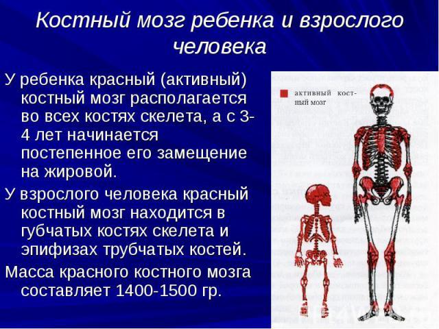 Костный мозг ребенка и взрослого человека У ребенка красный (активный) костный мозг располагается во всех костях скелета, а с 3-4 лет начинается постепенное его замещение на жировой. У взрослого человека красный костный мозг находится в губчатых кос…