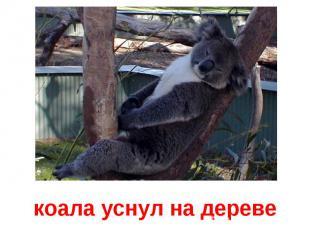 коала уснул на дереве