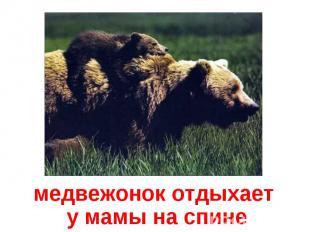 медвежонок отдыхает у мамы на спине