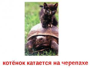 котёнок катается на черепахе
