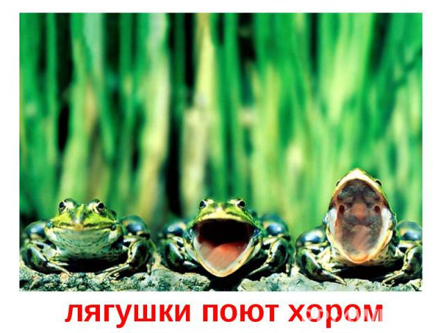 лягушки поют хором