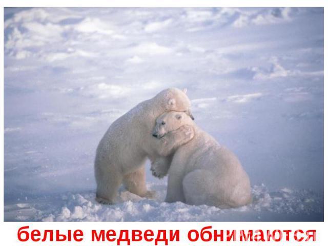 белые медведи обнимаются