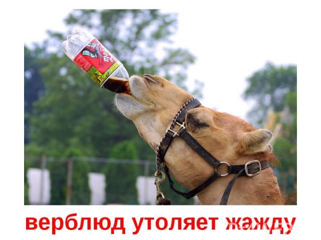 верблюд утоляет жажду