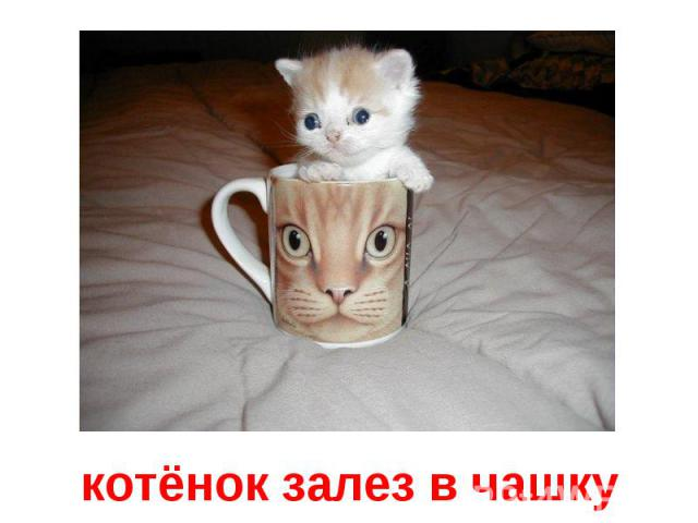 котёнок залез в чашку