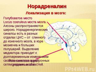 Дневное отделение фармацевтического факультета Норадреналин Локализация в мозге: