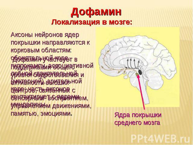 Дневное отделение фармацевтического факультета Ядра покрышки среднего мозга Дофамин Локализация в мозге: Аксоны нейронов ядер покрышки направляются к корковым областям: обонятельной коре, гиппокампу, ассоциативной лобной, двигательной (моторной), зр…