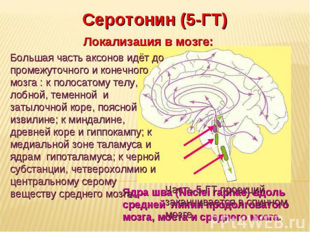 Дневное отделение фармацевтического факультета Серотонин (5-ГТ) Локализация в мозге: Ядра шва (Nuclei raphae) вдоль средней линии продолговатого мозга, моста и среднего мозга. Большая часть аксонов идёт до промежуточного и конечного мозга : к полоса…