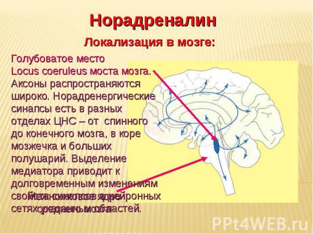 Дневное отделение фармацевтического факультета Норадреналин Локализация в мозге: Межножковое ядро среднего мозга Голубоватое место Locus coeruleus моста мозга. Аксоны распространяются широко. Норадренергические синапсы есть в разных отделах ЦНС – от…