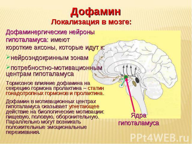 Дневное отделение фармацевтического факультета Ядра гипоталамуса Дофамин Локализация в мозге: Дофаминергические нейроны гипоталамуса: имеют короткие аксоны, которые идут к: нейроэндокринным зонам потребностно-мотивационным центрам гипоталамуса Тормо…