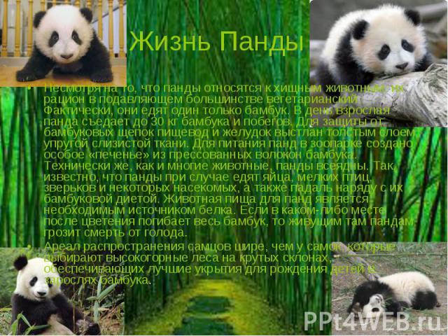 Жизнь Панды Несмотря на то, что панды относятся к хищным животным, их рацион в подавляющем большинстве вегетарианский. Фактически, они едят один только бамбук. В день взрослая панда съедает до 30 кг бамбука и побегов. Для защиты от бамбуковых щепок …